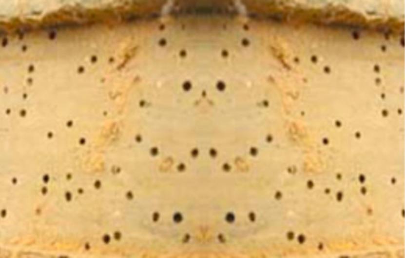 Parasite vrillette lyctus