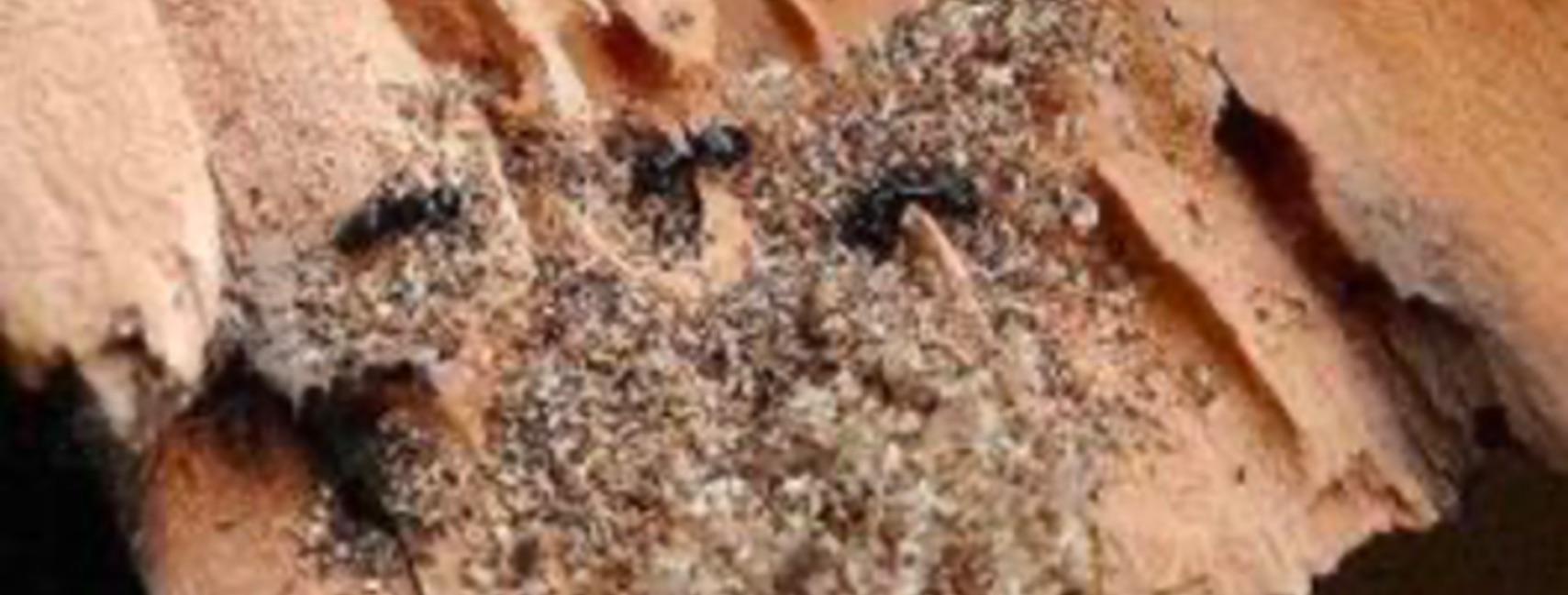 Parasite fourmis charpentières